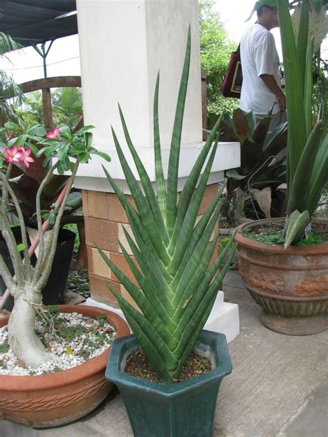 unusual houseplants 405 best sansevieria images on pinterest mother in law