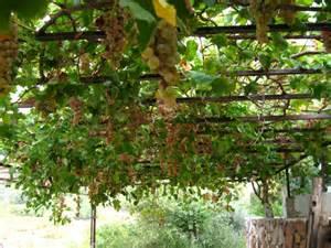 grape vines tilford cottage garden