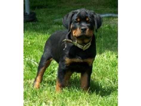 rottweiler oregon rottweiler puppies in oregon