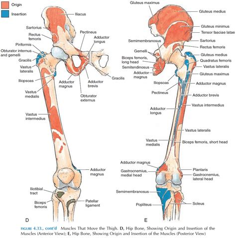 muscle origins and insertions muscles of the lower limb origin and insertion of