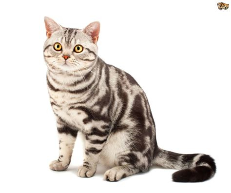 Types Of Haired Cats by American Shorthair Cat Breed Information Buying Advice