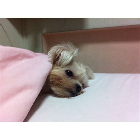 why do yorkies sleep so much i m sick i got the bronchitus meds aren t cough syrup is yucky and isn t