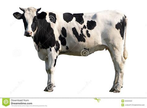 imagenes de vacas a blanco y negro vaca blanco y negro foto de archivo imagen 25503320