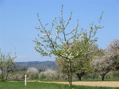 Apfelbaum Hochstamm Kaufen 856 by Apfelbaum Hochstamm Kaufen Apfelbaum Als Hochstamm