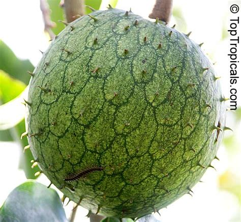 graviola tree fruit for sale pin anona cherimoya tropical fruit and plants of mexico