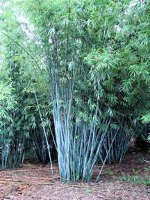 bambusa chungii tropical blue bamboo field grown balled and burlapped clump 12 24ft ht