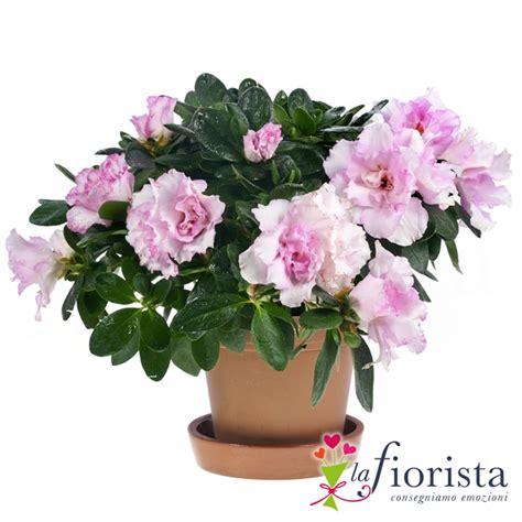 fiori azalee vendita azalea consegna fiori a domicilio gratis