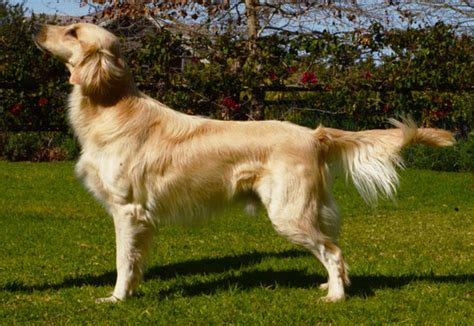 flat golden retriever zimzala flatcoated retrievers yellow flatcoats