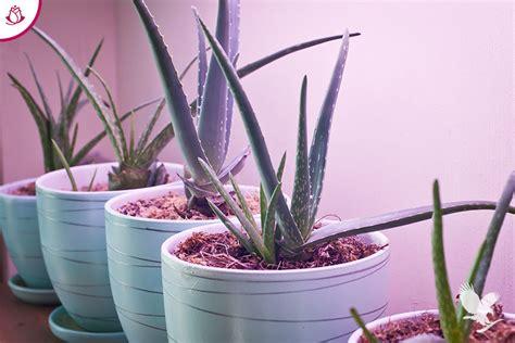 pianta aloe vera in casa come coltivare la pianta di aloe vera in casa la rosa