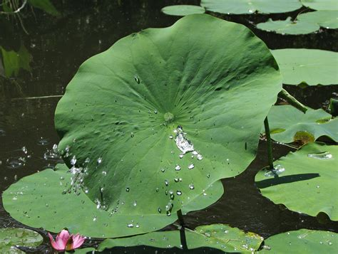 Lotus Leaf Original 30pcs file lotus nelumbo nucifera water drops 2654px jpg wikimedia commons