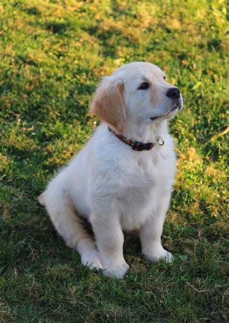 hoobly golden retriever beautiful golden retriever available for stud in hoobly classifieds