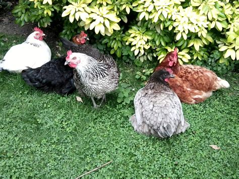 variety of breeds hybrid for sale chickens breed information omlet