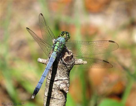 eastern pondhawk dragonfly erythemis simplicicollis mal