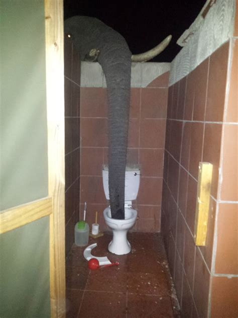 drinking water from bathroom thirsty elephant sticks her trunk over the bathroom wall