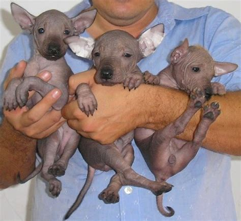 xoloitzcuintli puppies xoloitzcuintli mexican hairless info temperament puppies pictures