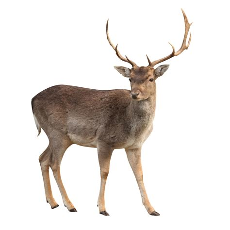 image buck buck deer isolated with clipping path the observation deck