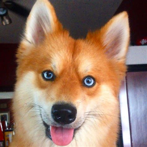 husky pomeranians pin pomeranian husky mix grown ajilbabcom portal on