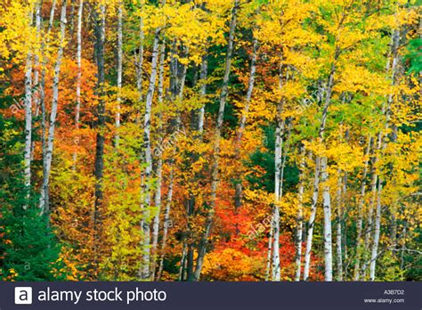 birch color fall birch trees www pixshark images galleries