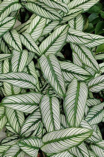 green pattern pinterest calathea ornata cultivar plants pinterest nature in