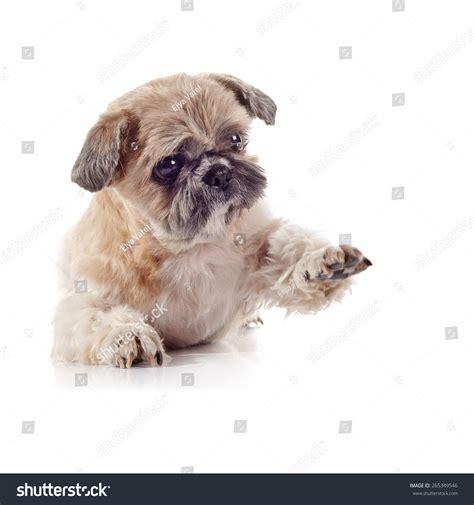 beige shih tzu the decorative amusing small beige doggie of breed of a shih tzu stock photo 265349546