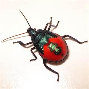 mosquitos snowbirds other florida pests books florida predatory stink bug euthyrhynchus floridanus