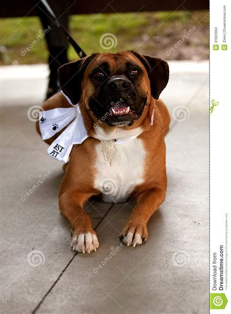 Boxer Dressed Up As The Best Dog At A Wedding Ceremony