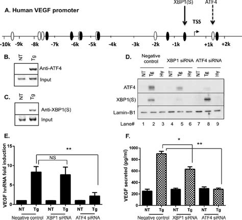 Berkualitas Obeng Tester Rapid Ns 48 atf4 and xbp 1 s bind to the human vegf promoter but