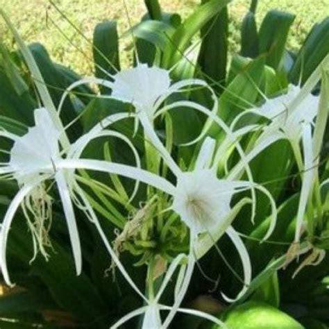 Pupuk Untuk Bunga Lili jual bibit unggul tanaman spider bibit