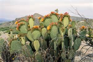 Ways To Become Blind Prickly Pear Aneyefortexas