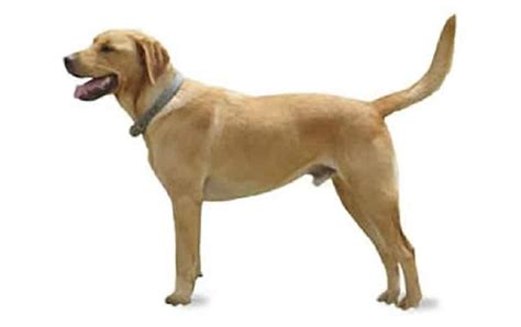 cross breed labrador and golden retriever goldador breed information facts pictures temperament and characteristics