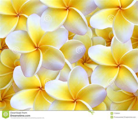 Hermosa Hawaiian Pink fondo plumeria foto de archivo libre de regal 237 as