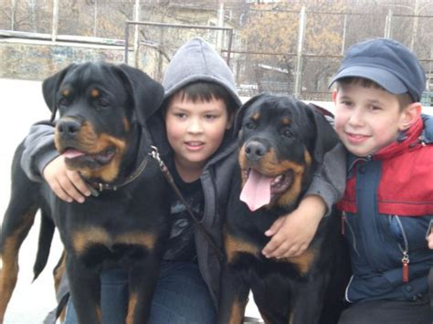 rottweiler with children 10 realities that new rottweiler owners must accept