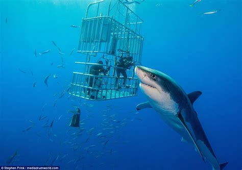 what is the largest great white shark ever recorded primer florida diver stephen frink may have found the world s