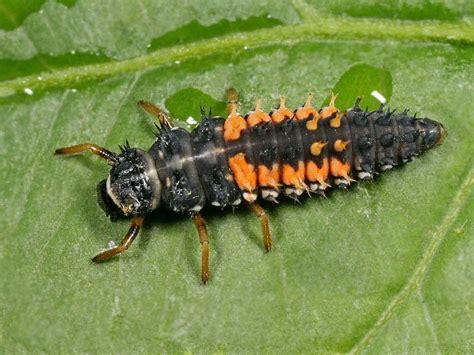 grote zwarte vliegen in huis harmonia axyridis