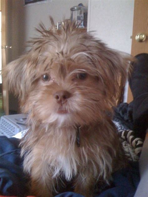 shorkie haircut photos shorkie puppy haircuts hairstylegalleries com