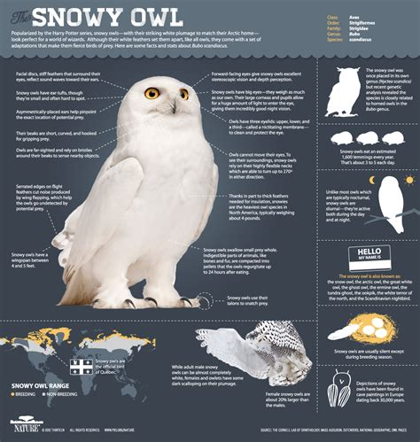 magic of the snowy owl snowy owl interesting facts and owl
