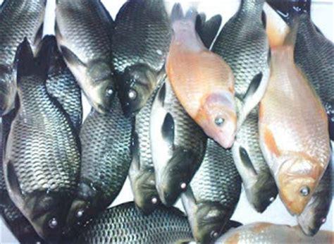 cara buat umpan ikan mas murah cara membuat umpan jitu ikan mas