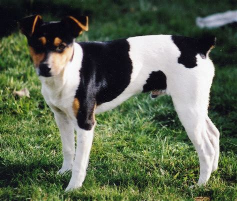 terrier puppies clearbrook kennels rat terrier and papillon breeder and puppies in washington