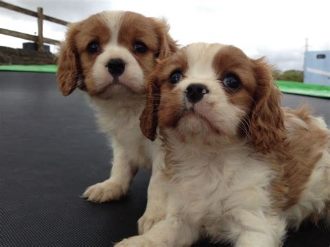 cavalier puppies cavalier king charles puppies ferryside carmarthenshire pets4homes