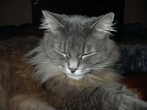 Types Of Haired Cats by File Sleeping Hair Cat Jpg Wikimedia Commons