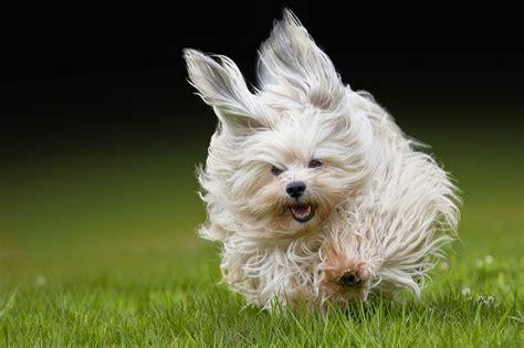 havanese dogs a happy havanese havanese 101