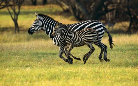 Top 20 Most Cute And Dashing Zebra Wallpapers In Hd Free Pics Of Animals