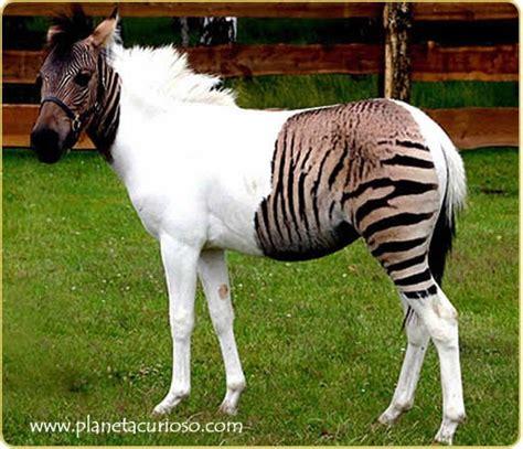 Cabal 30 K gerardo 5 186 biologia genetica de los burros mulas y caballos