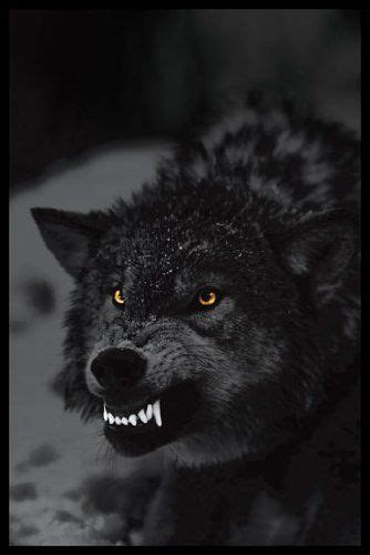 Best 25+ Wolf eyes ideas on Pinterest   Blue eyed animals ... Growling Black Wolf With Yellow Eyes