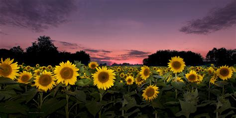 grinter farms sunset at grinter farms sunflower field kansas