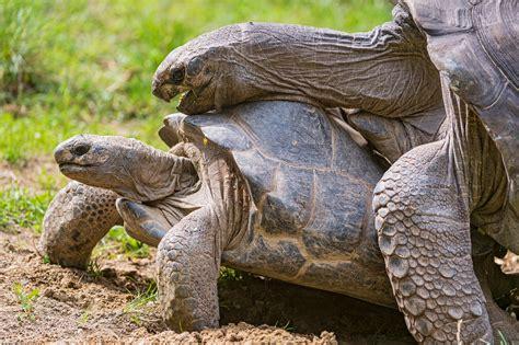 casa per tartarughe come distinguere le tartarughe femmine dai maschi con casa
