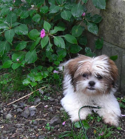 papillon shih tzu yorkie papillon mix breeds picture