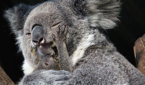 female koala pouch koala joey makes first appearance at taronga zoo