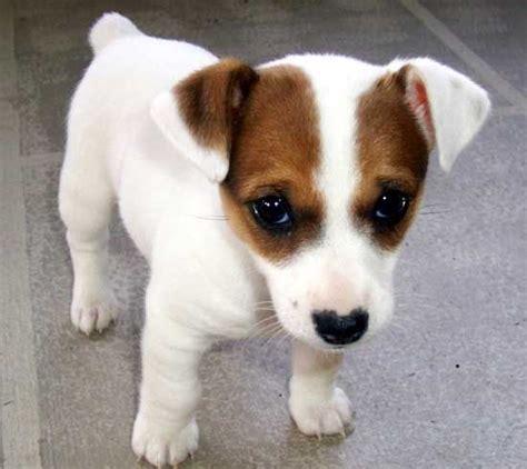 jrt puppies best 25 puppies ideas on russells