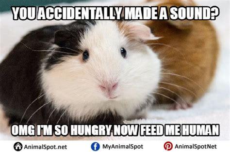 I M Fat Meme - guinea pig memes